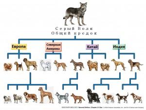 Серый волк предок собак