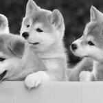 маленькие щенки акита-ину