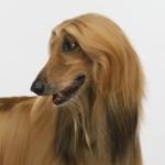 рыжая афганская борзая собака