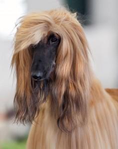 рассчесаная афганская борзая собака