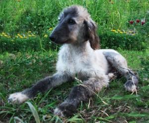 щенок щенки афганской борзой собаки