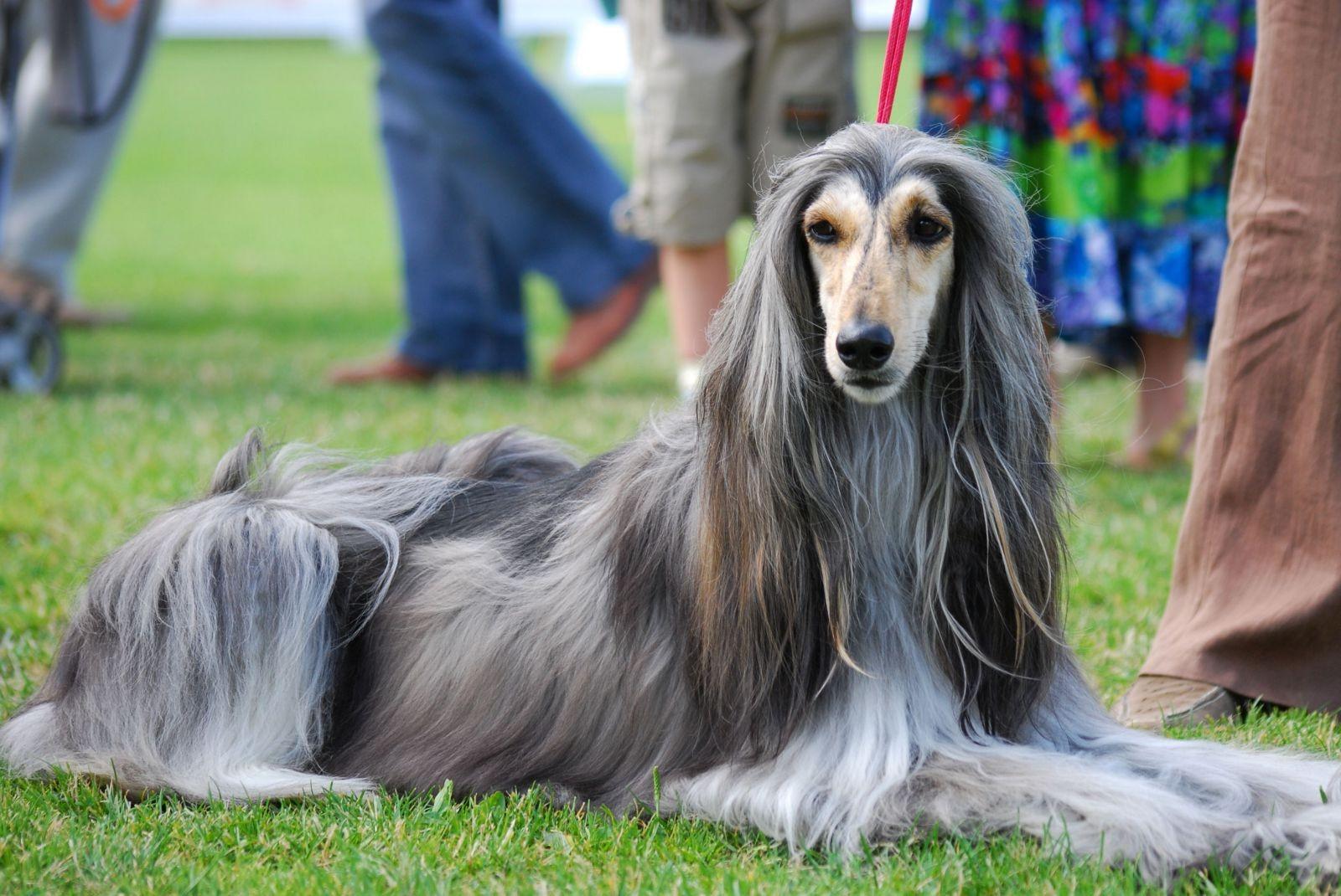 собака афганец фото