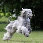 афганская борзая собака быстро бежит