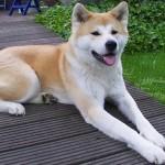 Акита-ину: описание характера, болезни, уход и содержание