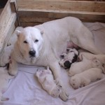 новорожденные щенки алабая
