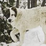алабай на снегу