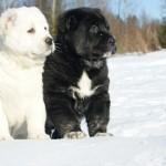черный и белый щенок алабая