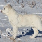 белый алабай и снег