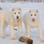 два щенка черная среднеазиатской овчарки