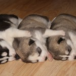 щенки маламута красиво спят
