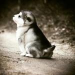 маленький щенок маламута