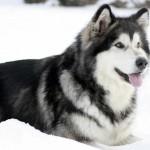 аляскинский маламут в снегу
