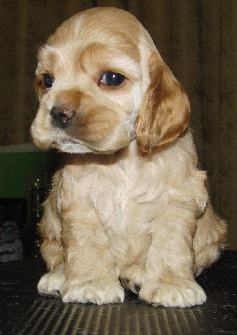 фото щенков кокер-спаниель
