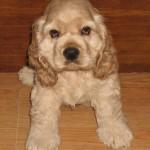милашка щенок американский кокер спаниель