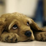 грустный щенок американского кокер спаниеля