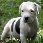 черно-белый щенок американского питбультерьера