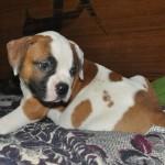 щеночек щенок американского бульдога на кровати