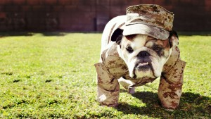 английский бульдог в военной форме