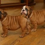 два щенка английского бульдога