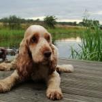 щенок английского кокер-спаниеля на речке