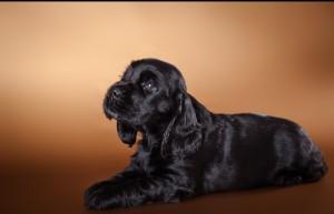 черный щенок английского кокер-спаниеля