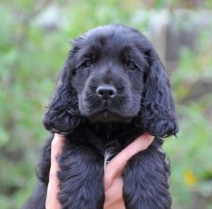 черненький щенок английского кокер-спаниеля