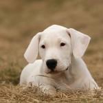 щенок аргентинского дога на сене