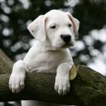 щенок аргентинского дога на дереве