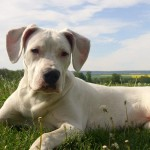 щенок аргентинского дога на природе