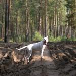 аргентинский дог заблудился в лесу