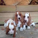 грустные щенки собака бассет хаунда