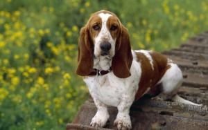 умная собака бассет хаунд