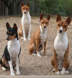 собаки басенджи позируют