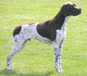 Легавая собака