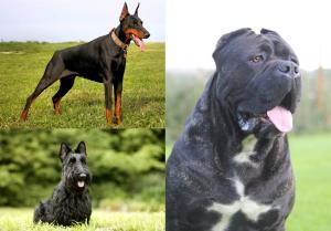 швейцарские скотогонные собаки