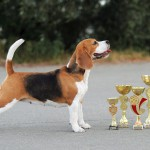 Бигль-чемпион