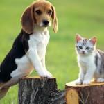 Котенок и бигль - настоящая дружба
