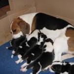 Мама бигль с щенками