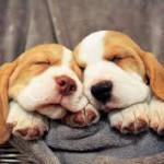 Сладкий сон двух биглей