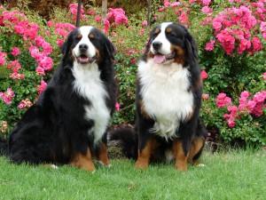bernskiy-zennenhund (14)