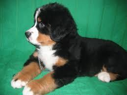 bernskiy-zennenhund (19)
