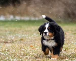 bernskiy-zennenhund (20)