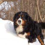 Бернский зенненхунд на снегу