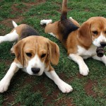 Молодые бигли на траве