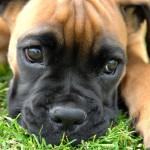 Грустный щенок немецкого боксера
