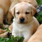 Милый щенок немецкого боксера