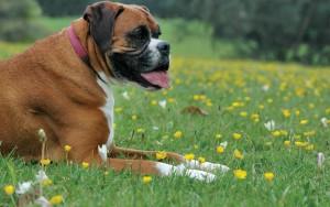 Немецкий боксер отдыхает на траве