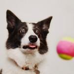 Колли любит играть с мячом