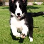 Легкий бег щенка колли