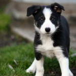 Милый щенок бордер-колли